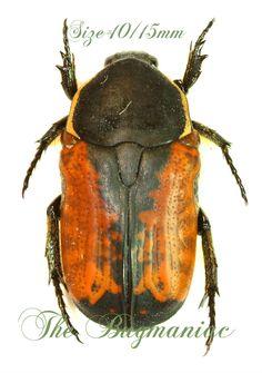 Cetonidae BG : Phonotaenia aethiopica