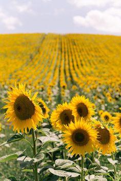 Sunflower Wallpaper, Sunflower Fields, Sunflower Flower, Sunflower Quotes, Sunflower Pictures, Gal Meets Glam, Felder, Flower Farm, Flowers Nature
