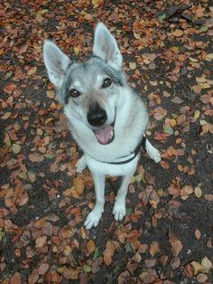 Wolfdog autumn