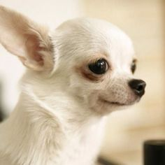 Chihuahua puppies come in different colors blue, black, white, tan and . Chihuahua Breeds, Cute Dogs Breeds, Dog Breeds, White Chihuahua, Chihuahua Puppies, Cute Puppies, Apple Head Chihuahua, Teacup Chihuahua, Australian Shepherd