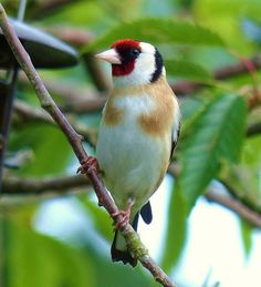 European Goldfinch - Carduelis carduelis, is a small passerine bird in the finch family. Photo by Allan Roffey.