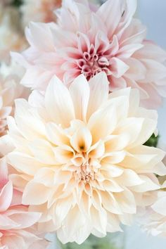 Pink Dahlia Cafe au Lait , 600 x 900 Gardening Ideas In Florida Wunderschöne blumen. Flowers In Hair, Pink Flowers, Beautiful Flowers, Wedding Flowers, Draw Flowers, Tropical Flowers, Colorful Flowers, Unique Flowers, Small Flowers