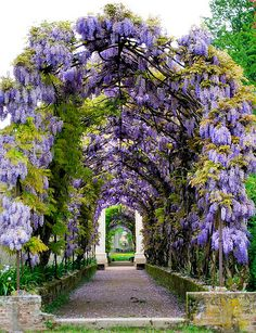 💜 My favourite flower of my childhood the Wisteria. 💜 🍝This wisteria is growing in the gardens, Villa Pisani, Veneto, Italy - built by Girolamo Frigimelica and Francesco Maria Preti, 🍝 Bella Italia Beautiful Gardens, Beautiful Flowers, Beautiful Places, Amazing Gardens, Covered Walkway, Flowering Vines, Parcs, Dream Garden, Garden Shop