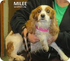 2/25/16 Elizabeth City, NC - Cavalier King Charles Spaniel. Meet Milee, a dog for adoption. http://www.adoptapet.com/pet/14984809-elizabeth-city-north-carolina-cavalier-king-charles-spaniel