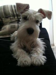Schnauzer by luvmypets