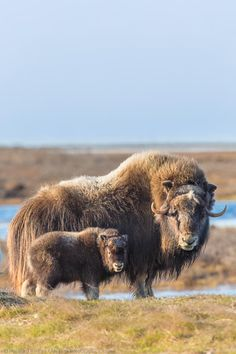 Musk ox and baby, I saw these on the slope at the Kangerlussuaq Airport. Nature Animals, Animals And Pets, Baby Animals, Funny Animals, Cute Animals, Wild Animals, Wildlife Photography, Animal Photography, North American Animals