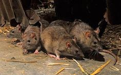 The Brown Rat - Rattus norvegicus, And How to Rid Yourself Of Their Presence Homemade Rat Poison, Tribune Libre, Getting Rid Of Rats, Rat Control, Killing Rats, Les Rats, 4 Month Old Baby, Termite Control, Scribble