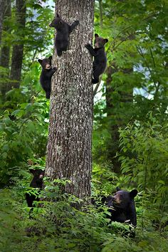 Black Bear tree!