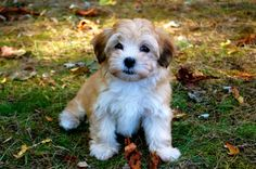 "Havanese Super attached to their owners, these dogs gained the nickname ""velcro dogs"" for stickin' to their masters like velcro! Sounds ideal for those looking for a constant companion pup. Also no-shed, considered to be hypo-allergenic."