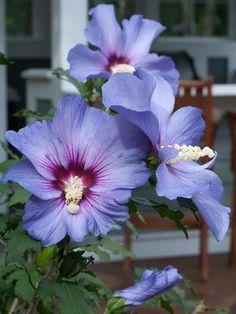 """Hibiscus moscheutos Tangri Swamp Rose Mallow Plant  3.5/"""" Pot"""