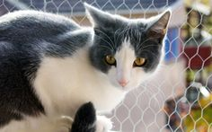 Download wallpapers 4k, Aegean Cat, gray cat, cute animals, cats, Aegean