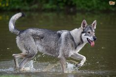 Eight top facts about the Northern Inuit dog - the Game of Thrones Dire wolves | Pets4Homes