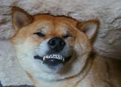 Django The Shiba Inu - Funny Pictures of Puppy Dogs Upside Down