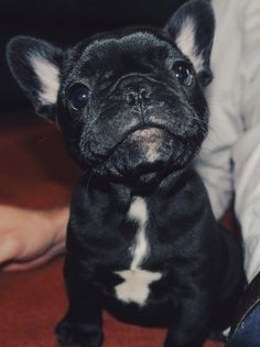 Frenchies are so cute!  Low energy dogs.. love to be with you all the time... low maintenance.  ♥♥♥♥♥♥♥