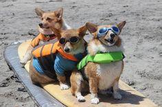 Corgis on a surfboard, no caption needed