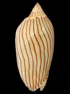 Volutidae: Amoria ellioti - Elliot's volute