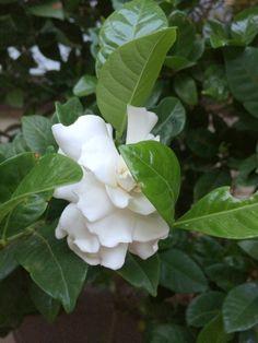 Heaven(ly) scent #myown2sense http://myown2sense.com/2014/09/06/gardenia/