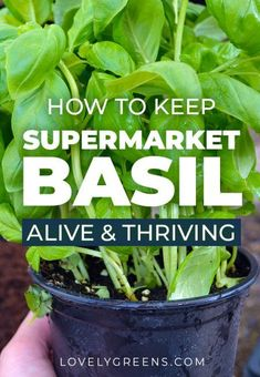 Keep pots of basil alive by planting the strongest plants into their own pots. Grow supermarket basil this way and you'll have dozens of plants that will thrive all year long Herb Garden Design, Diy Herb Garden, Garden Ideas, Gardening For Beginners, Gardening Tips, Allotment Gardening, Indoor Gardening, Caring For Basil Plant, Storing Basil