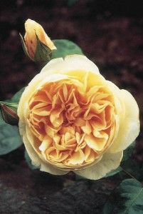 """Jayne Austin, David Austin rose. A rose of superb charm and beauty. The 3 1/2"""" blooms (petals 40+) are a lovely rosette form, often showing a button eye at the center in true old-rose style. Its color can vary from apricot to apricot shaded yellow. The petals have a sheeny texture that adds greatly to its charm. It has a strong tea fragrance and flowers freely, repeating well. A very densely foliaged bush that grows taller than it is wide making a nice free standing pillar rose in warm…"""