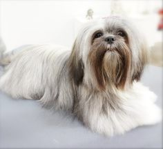 Trudy - Lhasa Apso Big Dogs, Small Dogs, Cute Dogs, Teddy Grahams, Lion Dog, Lhasa Apso, Puppys, Dog Photos, Beautiful Dogs