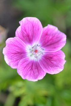 Geranium 'Elke' by Avondale Nursery, via Flickr
