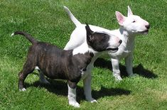 Many people find it amazing that the Miniature Bull Terrier is an exact version of the traditional Bull Terrier, except it is downsized. The breed is affectionately known as the English Miniature Bull Terrier, the Mini Bull Terrier or the Mini Bull. This tenacious little guy simply doesn't know that he is any smaller than his much [...]