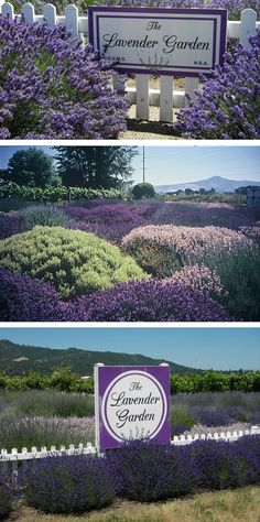 Pacific Northwest's first Lavender Collection and Demonstration Garden - Open daily for self-guided tours