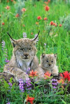 The gorgeous Canadian Lynx