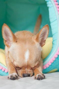 Now I lay me down to sleep. #chihuahua