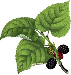 Vintage Mulberries Clip Art! - The Graphics Fairy
