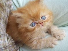 Gato Persa Fofo <3