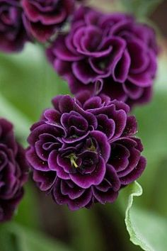awesome 70850- POPS PLANTS AURICULAS, HAMPSHIRE: CLOSE UP  : Asset Details