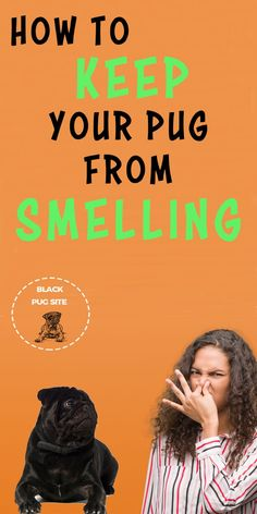 Do Pugs smell and what causes their odors? Plus I'll give you some tips that you can use to help control the bad dog odor so you can. Black Pug Puppies, English Bulldog Puppies, English Bulldogs, French Bulldogs, Bull Terrier Dog, Terrier Puppies, Boston Terrier, Pug Facts, Adult Pug