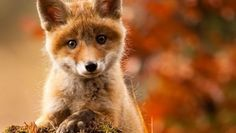 Curious Little Baby Fox - So Sweet Animals baby Animals Baby Animals Pictures, Cute Baby Animals, Animals And Pets, Funny Animals, Fox Pictures, Wild Animals, Animals Planet, Adorable Pictures, Animal Babies