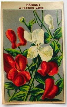 French Flower Seed Label, Haricot