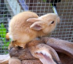 Baby Bunny Uses Mother's Head as a Stepstool - July 28, 2011