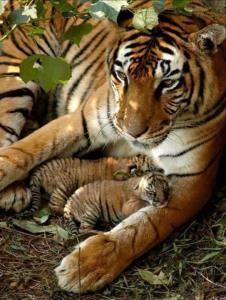 Tigresa y cachorros Groupes Joëlle Adam