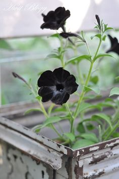 What's a Gothic garden without black plants? My post on growing petunia 'Black Cat'-world's first black petunia. Dark Flowers, Pretty Flowers, Plants, Black Flowers, Gothic Garden, Beautiful Flowers, Black Petunias, Petunias, Black Garden