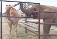 Babe, the elephant, and Omar, the camel, greet each other over the fence at the ranch.