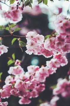 красиво, цветение, цветы, сад, Япония, природа, розовый, растения, сакура, весна, дерево, винтаж, белый