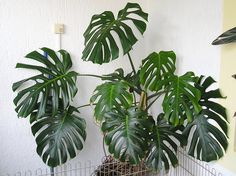 Monstera deliciosa.  A dramatic climbing plant that can thrive even in indirect light. It loves the heat, though, so make sure it's somewhere at least somewhat warm in the winter.