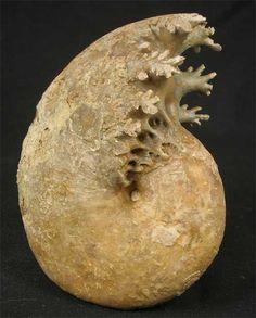 Ammonite fossil - England