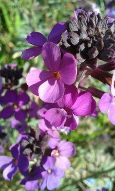 Hardy wallflower Bowles Mauve