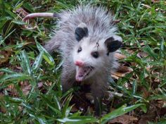 We recently became a Certified Wildlife Habitat for the National Wildlife Federation. Now the opossums want to move it. Click for story and photos.