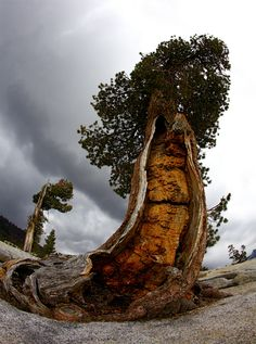 4000-5000 year old Bristlecone Pine/ Yosemite High Country | Flickr - Photo Sharing!