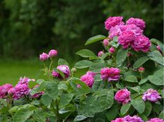 Rose de Resht David Austin Rosen, Damask Rose, Planters, Flowers, Elves, England, Gardening, Blog, Inspiration