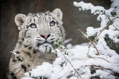 young snow leopard by elke.os  on 500px