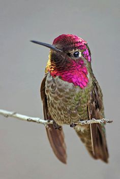 Escade's National Animal is the Hummingbird.  The largest sanctuary for hummingbirds exists in the Escadian National Forests and Escadian scientists are known for breeding colorful and exotic variations of this beautiful bird.