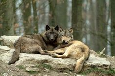 Wolves mate for life ... man could learn a lot from the animal world!
