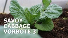 Savoy cabbage in my polytunnel, early spring sowings. How to becomre self-sufficient on less than 1 acre. Savoy Cabbage, Growing Veggies, Harvest Season, Early Spring, Acre, Vegetables, Garden, Plants, Beginning Of Spring
